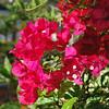 Key West (Florida) Trip 2017 0012Ri sq (edgarandron - Busy!) Tags: florida keys floridakeys keywest flower flowers plants bougainvillea