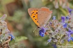2017.08.07 - 4114 - Cuivré commun Bois Bas © (chmeyer51) Tags: insecte lépidoptère cuivrécommun lycaenaphlaeas