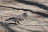 DSC_6370 (Kjell Arild Dokka) Tags: acridotheres tristis spurvefugler stærer hyrdestær iran bandarabbas jahadpark