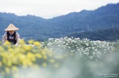 鳥鳴桑葉間, 黃花蓋野田。 ([M!chael]) Tags: nikon f3hp nikkor 5014 ai kodak 500t 5219 taiwan moviefilm motionpicturemoviefilm manual film miaoli nature 杭菊 銅鑼