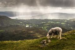 Rain (Mopple Labalaine) Tags: grasmere england unitedkingdom gb lakedistrict herdwick fell southernfells sheep rain pentax k1