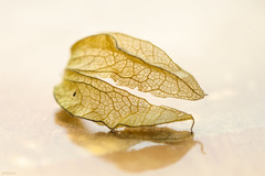 Fragile (eleni m) Tags: fragile physalis gooseberry leaf soft details indoor plant reflection texture additionalplate quote leaves dof macro