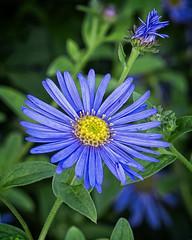 Blue Star (MrBlueSky*) Tags: flower petal leaf garden nature horticulture outdoor plant blue colour kewgardens royalbotanicgardens london aficionados pentax pentaxart pentaxlife pentaxk1 pentaxawards pentaxflickraward