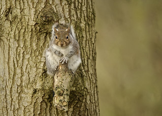 Grey Squirrel DSC_4673