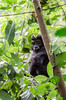 Shy (LynxDaemon) Tags: baby gorilla hidding forest wild uganda look small shy