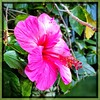 Hibiscus. #florida #family #holiday #iphone #iPhone365 #iPhoneography #iPhone7plus #iPhonemacro #macro  #flower #flowersofinstagram (Kindle Girl) Tags: iphone7plus florida family holiday iphone iphone365 iphoneography iphonemacro macro flower flowersofinstagram