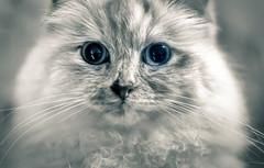 Lana (Simon[L]) Tags: cat whiskers monochrome canon50mmf12ltm fluffy