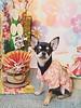 Happy New Year 2018 🎵 (cute-little-dolls) Tags: dog kimono chihuahua smoothchihuahua blacktanchihuahua kadomatsu mydog kawaii newyear greetings