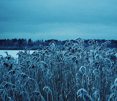 Winter Blue (Peterix) Tags: blue wiinter reeds pond frost snow