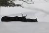 Two in snow (Xtraphoto) Tags: bayerischerwald bavarianforest bayern bavaria schwarz black animal tiere winter schnee snow bokeh zwei two ox ochsen urochsen