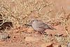 Trumpeter Finch (Bucanetes githagineus) Пустынный снегирь (Mikhail & Yana) Tags: trumpeterfinch bucanetesgithagineusпустынный снегирьwildlifebirdbirds morocco