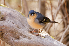 Hallo Welt! (Lilongwe2007) Tags: kanarische inseln la gomera spanien urlaub reise nebelwald vögel tiere kanarischer buchfink fringilla coelebs