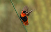 The northern red bishop or orange bishop (salmoteb@rogers.com) Tags: bird wild outdoor wildlife bishop orange california