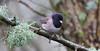 Dark-eyed Junco Male (Oregon) (praja38) Tags: oregon male darkeyedjunco junco life wildlife wild caps capricorn humour cap animal forest beak sparrow bird delta bc canadian canada