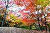 Maple 楓葉 (MelindaChan ^..^) Tags: gyeongju skorea 韓國 慶州 maple 楓葉 leaf leaves plant tree autumn fall foliage chanmelmel mel melinda melindachan branch color colorful