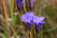 Fringed Gentian (Gentianopsis crinita) (FilickyFoto) Tags: flower flowers wildflowers pennsylvania fen plant plants native wildflower botany botanist canon tamron