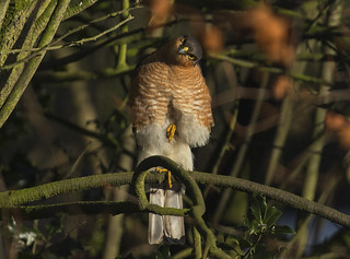 Sid the Sparrowhawk is back