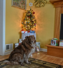 A Most Busy Time Of The Year (Feeling Better...Still Slow To Comment!) Tags: ddc busy 2237 amostbusytimeoftheyear shizandra inthelivingroom christmastree presents wood floors rug fireplace