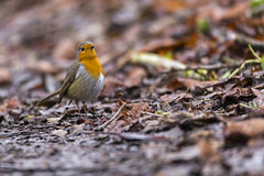 Sur le sol - On the ground (bboozoo) Tags: nature animal wildlife rougegorge robin sol ground feuilles leaves branch branche canon6d tamron150600