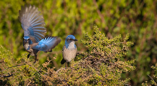 Corvid brothers California Scrub Jay Inceville Los Liones Canyon Los Angeles California 084