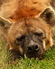 Spotted Hyena (Rackelh) Tags: hyena animal mammal zoo spotted nose sleeping toronto canada