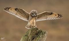 Concentration (Short-Eared Owl) (The Owl Man) Tags: ngc owl shortear landing flight raptor boundarybay
