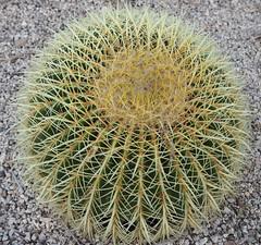 Echinocactus grusonii (tgrauros) Tags: seientdesogra echinocactusgrussonii asientodelasuegra jardinsdemossèncostaillobera barcelona catalunya cactus