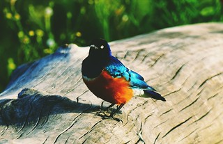 Africa superb starling