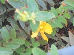 753 (en-ri) Tags: fiorellino giallo little flowr verde foglie leves sony sonysti bush cespuglio