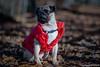 Baron 19ww (wketsch) Tags: grass sun heaven pub forest animal dog pug mops trees wald play loveley sweet portrait nikon d750