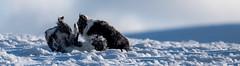 Stage 3 - 'Howszatt!' (JJFET) Tags: border collie dog sheepdog