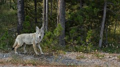 The coyote is watching you (tottenzac) Tags: coyote forest forêt wildlife nature animaux sauvages