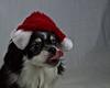 Jack 2 (2) (glitterose01) Tags: dog pet black white red nature animal tongue eyes ears teeth fur smileonsaturday redrules