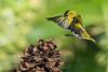 "Lugano ""Spinus spinus"" (alimoche67) Tags: sony josejurado alpha translucentmirror 77ii minolta aves comedero hide strobist flash godox bordas"