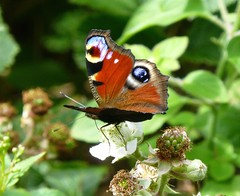 Peacock Butterfly, New Forest NP, Hampshire, England (east med wanderer) Tags: england hampshire newforestnationalpark butterfly peacock nationalpark aglaisio bramble flower uk