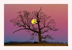 Moonset Over Dobbins Farm (George McHenry Photography) Tags: sunrise moon fullmoon trees barrentrees winter treesinwinter skies settingmoon moonset