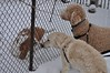 fence meeting (ladybugdiscovery) Tags: nutmeg bassethound luna dobby frends fence meet winter cold snow