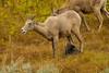 'Ewe' talkin' to me (ChicagoBob46) Tags: rockymountainbighornsheep bighornsheep sheep ewe yellowstone yellowstonenationalpark nature wildlife coth5 ngc npc