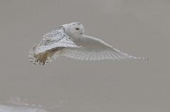 Sand Surfer (slsjourneys) Tags: snowyowl owl beach winter islandbeachstatepark sand