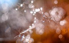 Ilo (Ans van de Sluis) Tags: ansvandesluis overasseltsevennen autumn bokeh bokehlicious botanic botanical droplets flora floral frost macro nature waterdroplets ilo