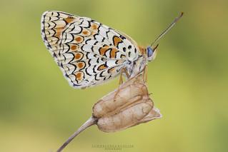 Melitaea phoebe...
