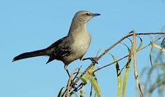 Northern Mockingbird (Mimus polyglottos);  Catalina Regional Park, Arizona [Lou Feltz] (deserttoad) Tags: nature arizona desert park bird wildbird fauna mockingbird