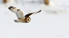 Hibou des marais \ Short-eared Owl (Alain Daigle) Tags: hiboudesmarais shortearedowl