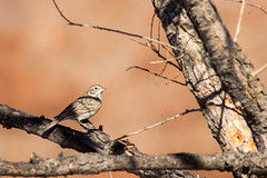 Vesper Sparrow (gilamonster8) Tags: yellow quality arizona az american wing water white waterbirds waterbird sky smoke stick explore explored eyes eos eat ef400mm56l eyeball eating desert color canon flight flickrelite fly view tail talons tree twig green gray great garden grass bird blue bokeh beyondbokeh beak bill black brown ngc usa marsh insect lake orange park plant pollen pond