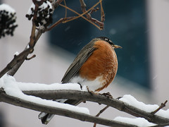 Staying put (BruceK) Tags: americanrobin winter migration birds snow