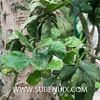 Opuntia brasiliensis (SUBENUIX) Tags: cactaceaeopuntias opuntiabrasiliensis suculentas subenuix subenuixcom planta suculent suculenta botanic botanical