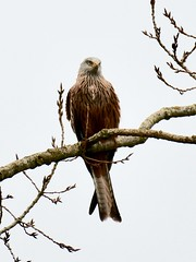 Red Kite - Taken at Kinewell Lake, Ringstead, Northants. UK (Ian J Hicks) Tags: