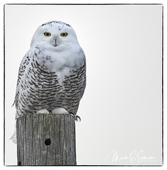 Snowy Owl at B. K. Leach Memorial Conservation Area - No. 6 (Nikon66) Tags: snowyowl owl irruption bkleachmemorialconservationarea lincolncounty missouri nikon d850 600mmnikkor