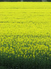 (Kelvin P. Coleman) Tags: canon powershot fenland spring country countryside farm farmland field oilseedrape rapeseed plant crop nature yellow green outdoor