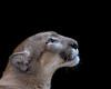 Calusa Lucy (tlightpainter) Tags: lucy calusa panther florida